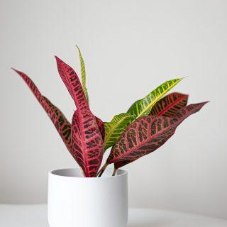 Codiaeum variegatum (3)