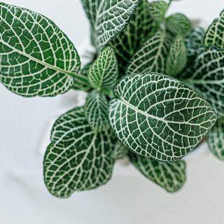 Fittonia-albivenis