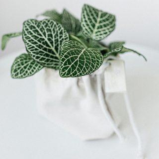 Fittonia-albivenis-plante-tropicale