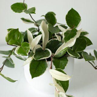 Hoya-Carnosa-6po
