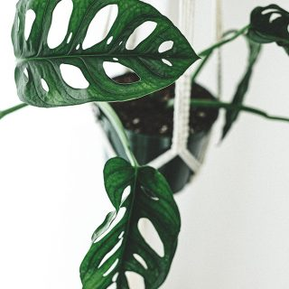 Monstera-Adansonii-9-1