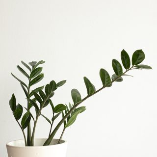 Zamioculcas zamiifolia1