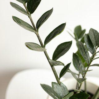 Zamioculcas zamiifolia2