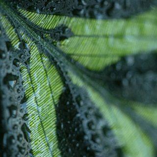 detail-Goeppertia-makoyana