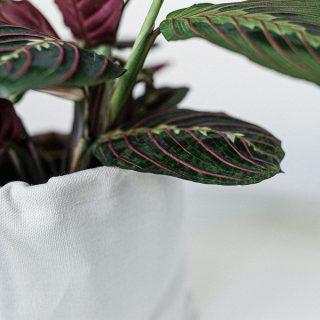 leuconeura-maranta-tropical