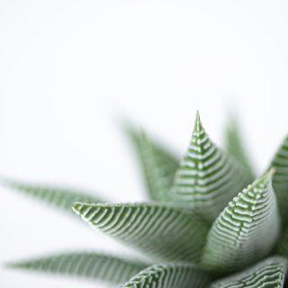 macro-haworthia-limifolia