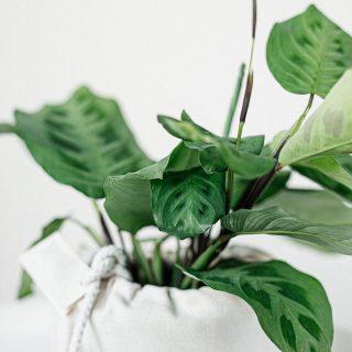 plante-leuconeura-maranta