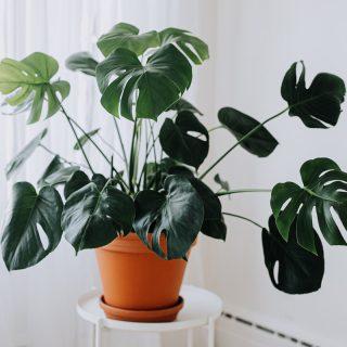 plante-monstera-1